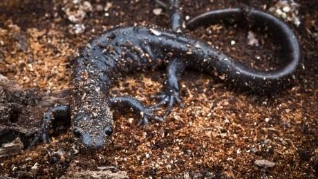 Salamander Search 20170523