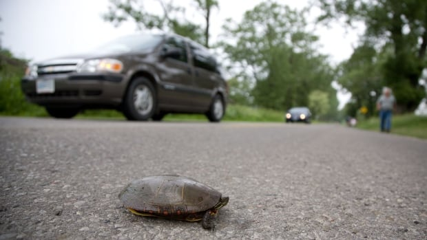 A Midland painted turtle makes the trek across the causeway.