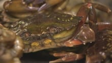Green crab samples at DFO