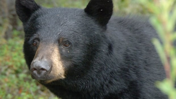 A file photo of a black bear in Yukon. A black bear with little fear of humans recently got up close and personal with a cabin owner at Cowan Lake, near Big River in northern Saskatchewan.