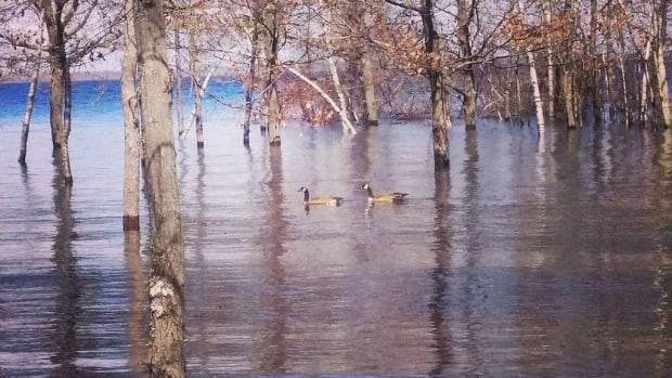 Two geese check out Grand Lake's flooded territory on Wuhrs Beach earlier this month.