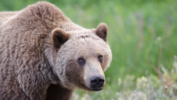 A collared grizzly bear that was being tracked for research by officials in Jasper National Park was killed by a hunter.