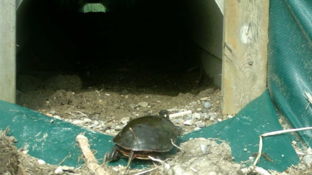 Blanding's turtle culvert Long Point