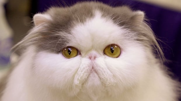 blue and white bi-colour persian cat