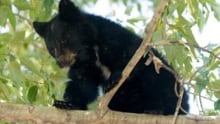 A Manitoba couple wants to build the province's first black bear cub rehabilitation in Rockwood
