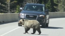 Grizzly bear on Highway 93S near Kootenay National Park