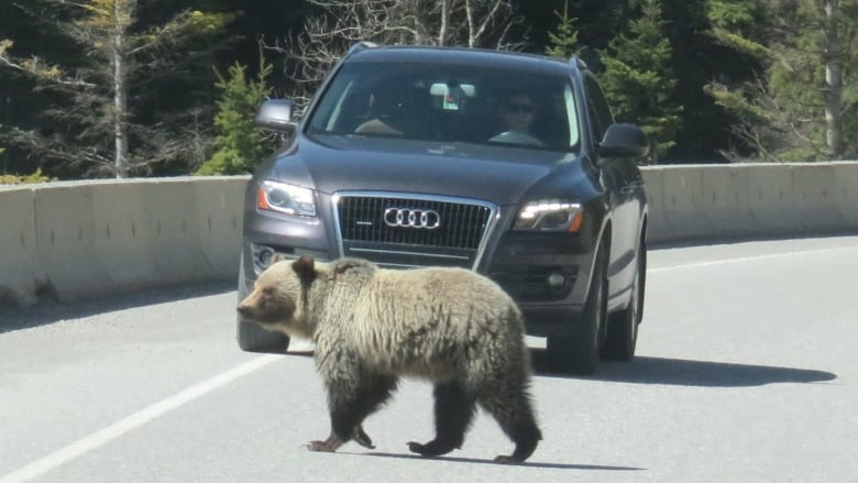 Grizzly bear suffered for days after being hit by vehicle in Banff National Park