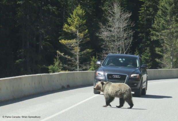 Grizzly bear on Highway 93S near Kootenay National Park