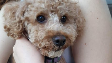 Donut the poodle