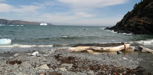 Outer Cove beached whale