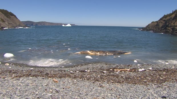 On Tuesday, the dead humpback whale carcass washed ashore in Outer Cove drifted back into the water, but not back out to sea.