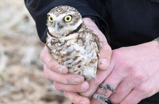 Burrowing owls Zoo