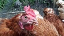 Chanelle Davidson's backyard chickens