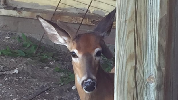 Family of deer rescued from Scarborough plaza