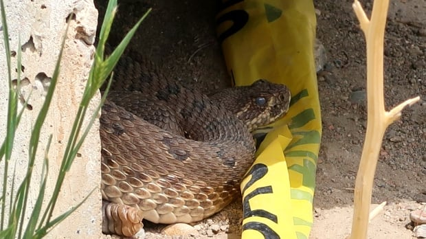rattle snake