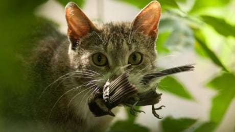Kitten permittin': group pushes for cat licences in Greater Victoria