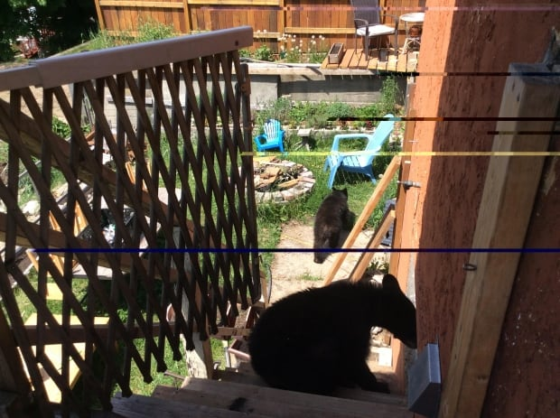 Bear in Rossland home