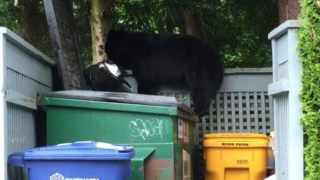 Bear eating Garbage