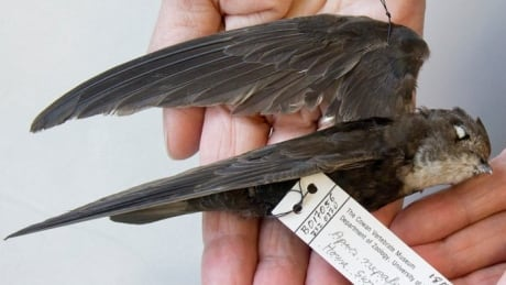 House swift flies across pacific