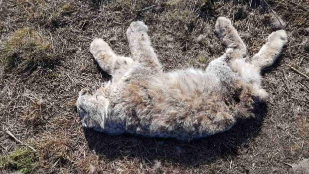 Four whole Lynx carcasses and one pelt were found in a field near the Hay River Polar Egg poultry farm. The penalty for wasting lynx pelts is $575 per pelt.