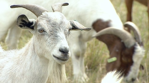 The City of Edmonton is deploying a herd of goats to control weeds in city parks. But proposed changes to food safety laws could hamper the four-legged lawnmowers.