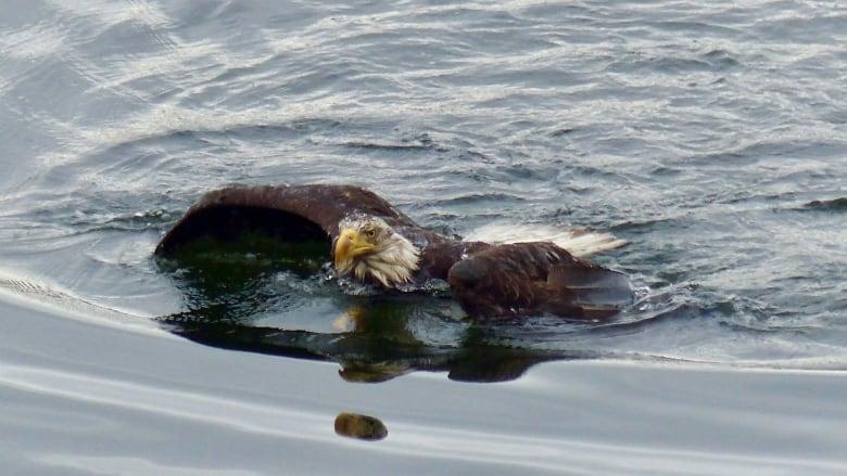 Znalezione obrazy dla zapytania: eagle swimming