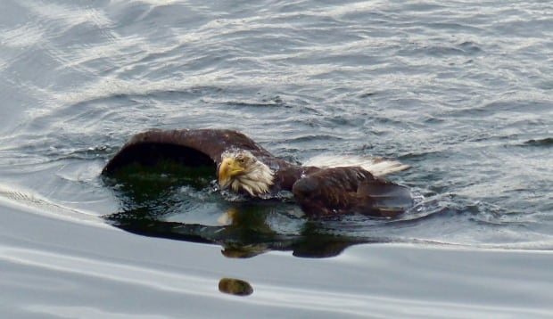 swimming eagle belcarra