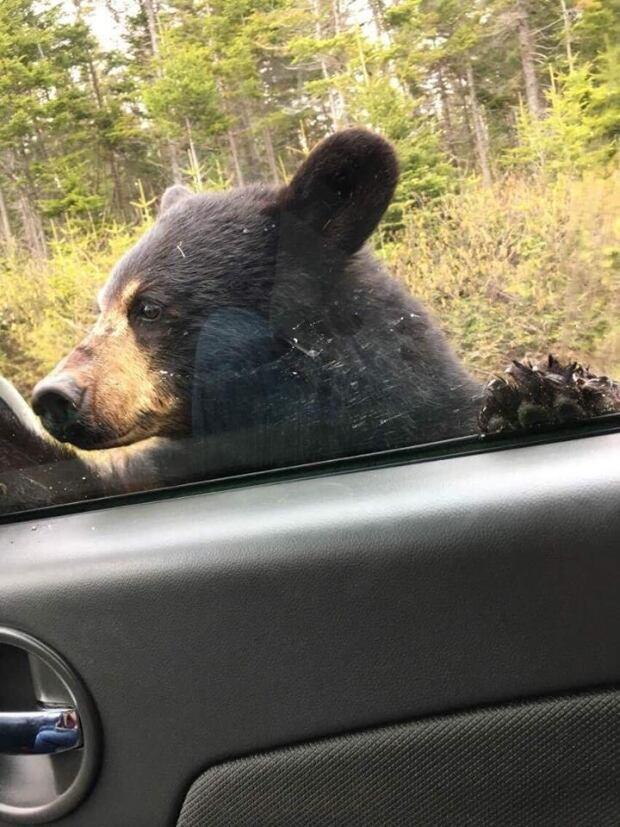 Young Black Bear Gros Morne