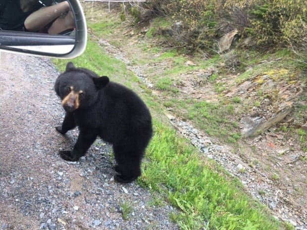 Young black bear in Gros Morne