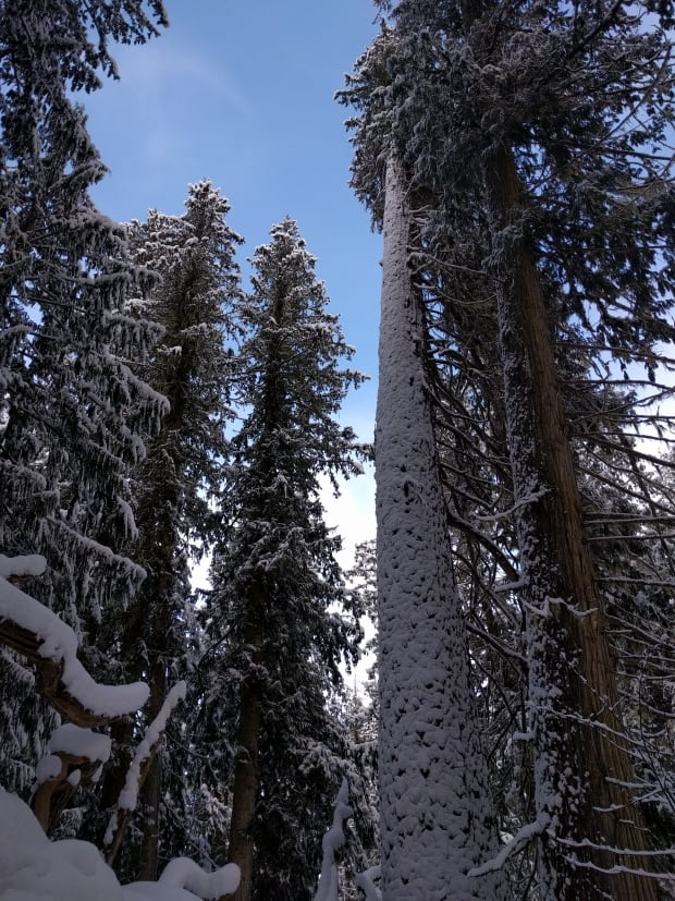 ancient snow forest