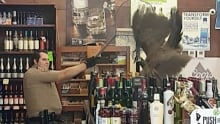ODD Peahen Crashes Liquor Store
