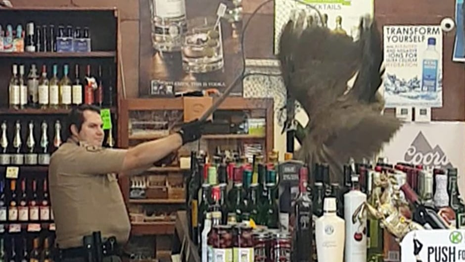 In this image made from cellphone video provided by Rani Ghanem, bottles tumble as an animal control officer attempts to net a female peacock that wound up inside the Royal Oaks Liquor Store in Arcadia, Calif.