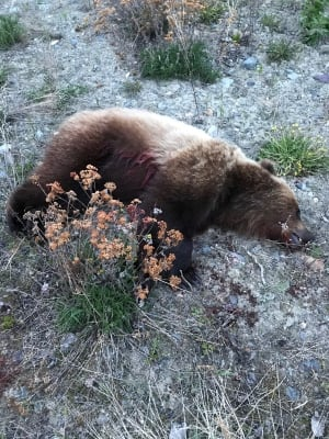 Dead grizzly bear