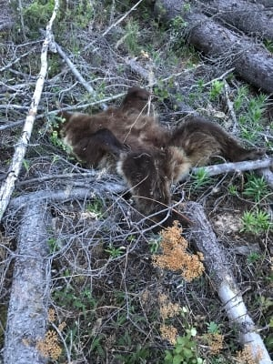Dead grizzly