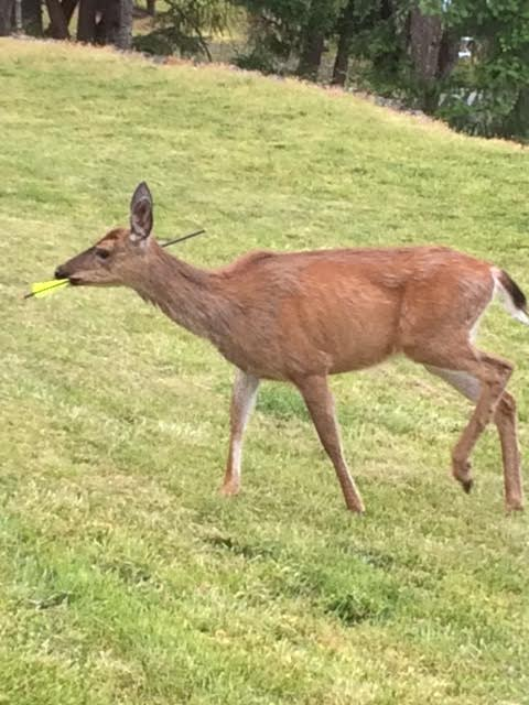 Pregnant Vancouver Island deer shot in the head with