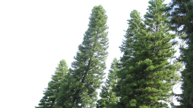 This typical cultivated stand of Cook pine (Araucaria columnaris) at the University of California, Irvine campus, shows the trees leaning southward, toward the equator.