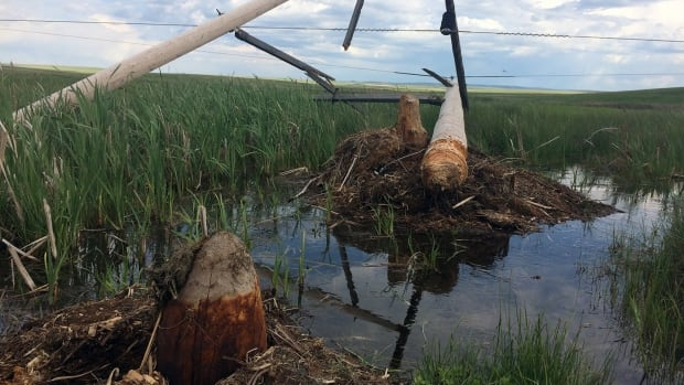 A beaver chewed through a power pole in the area of Maple Creek, knocking out electricity service at Kim Martin's wedding venue on May 27.