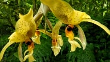 Orchids: Ward's Stanhopea