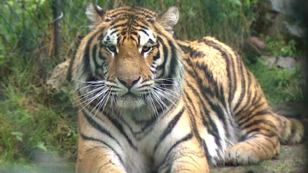 2 siberian tigers show 39 no signs of abuse 39 as they settle - Show me a picture of the tiger ...