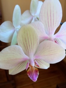 Orchids-Marilyn