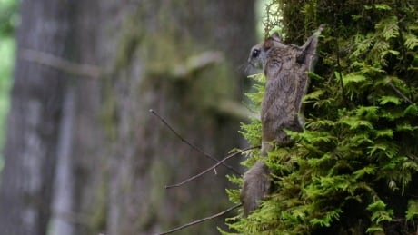 Humboldt's flying squirrel