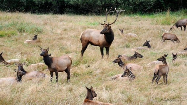 A seven-year study from the University of Alberta suggests cow elk learn to avoid hunters as they age.