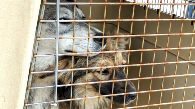 Two dogs from Kitchenuhmaykoosib Inninuwug First Nation cuddle in a kennel after being flown to Thunder Bay by North Star Air and the Ontario SPCA. They, along with other dogs and some cats, will be taken to southern Ontario where they'll be made available for adoption.