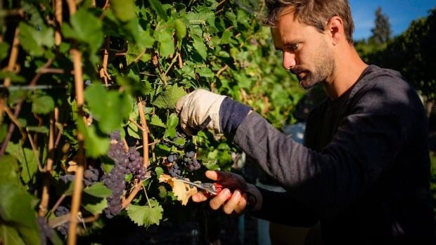 A grape picker on the job at the Okanagan Valley's River Stone Estate Winery in Oliver, B.C. Some senators are opposed to the Liberal government's move to hike alcohol excise duties by two per cent and index them to inflation.