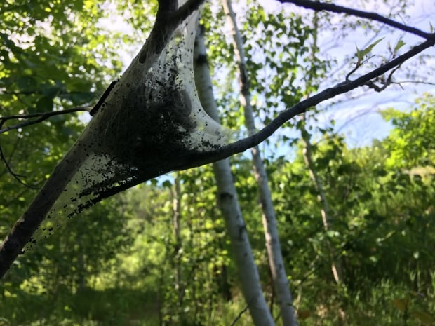 Caterpillar tent