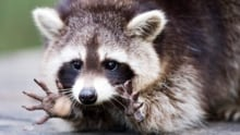 Maine woman is attacked by rabid raccoon