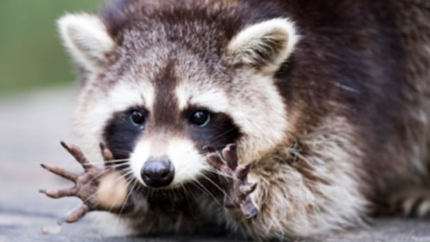 A raccoon displays its fingers. A raccoon that walked into a Scarborough bus shelter, not pictured here, and caused a commotion has been caught by Toronto Animal Services.