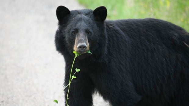 Police in Fort St. John, B.C., believe they may have had help from a local bear in finding the owner of a vehicle found to be going 40 km/h over the speed limit.