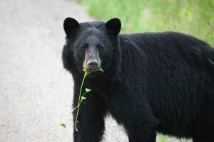 Black bear Yukon