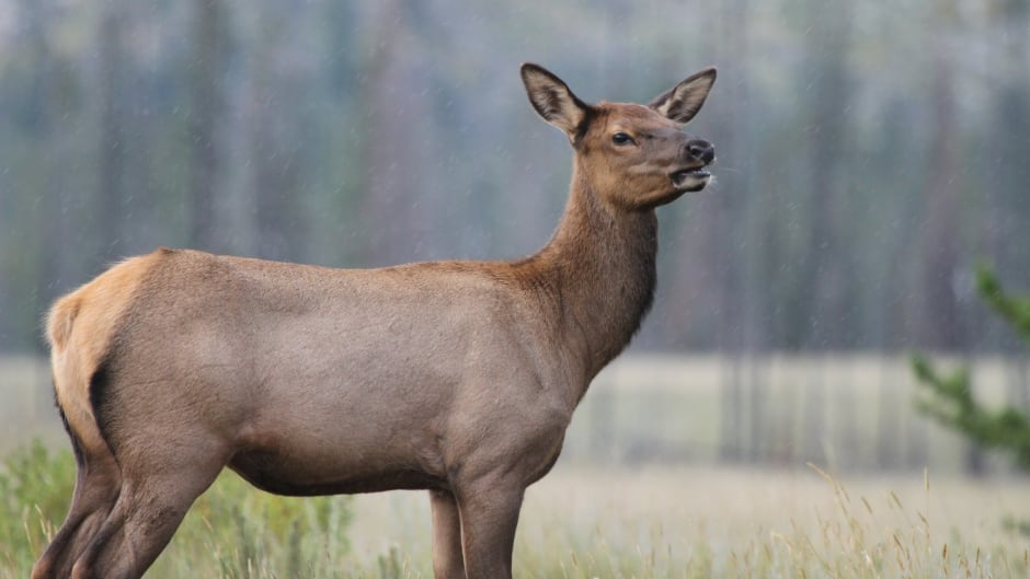 "By the time a female elk reaches the age of around 10, it is practically ""bulletproof,"" says Mark Boyce."